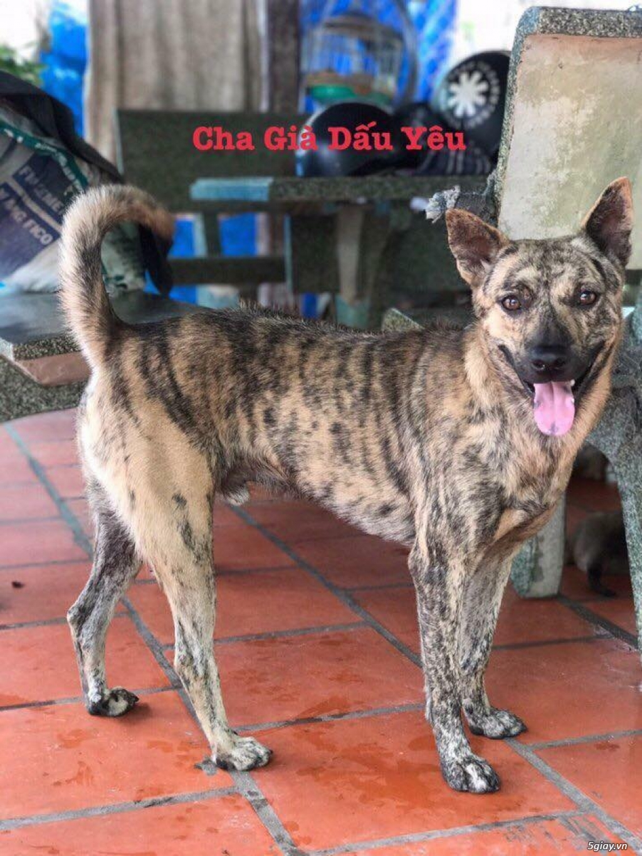 Bán Chó Phú Quốc Thuần Chủng Vện Đẹp Móng Đeo Đủ loại ! - 32