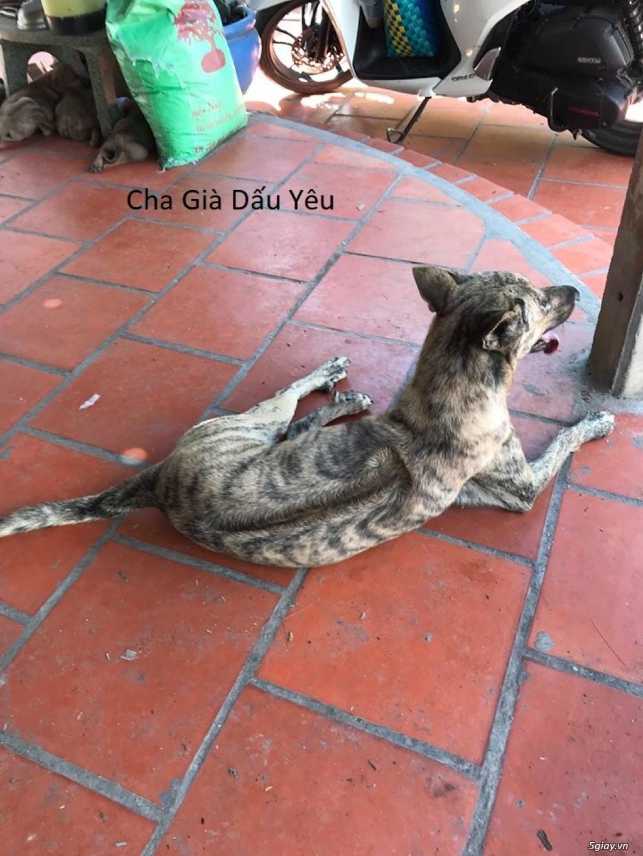 Bán Chó Phú Quốc Thuần Chủng Vện Đẹp Móng Đeo Đủ loại ! - 35