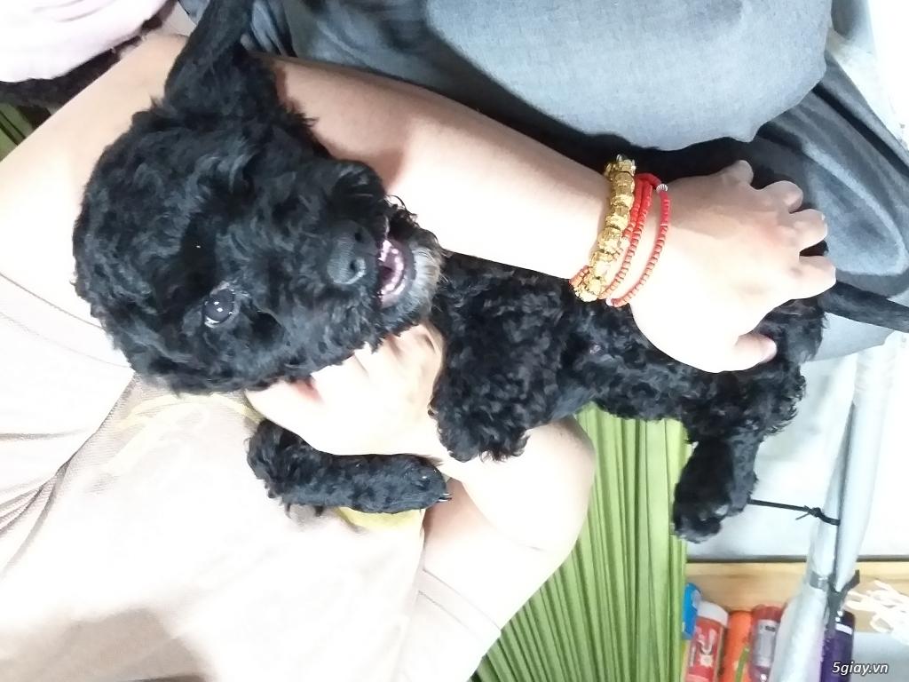 2 em chó cái poodle dòng tiny - 3