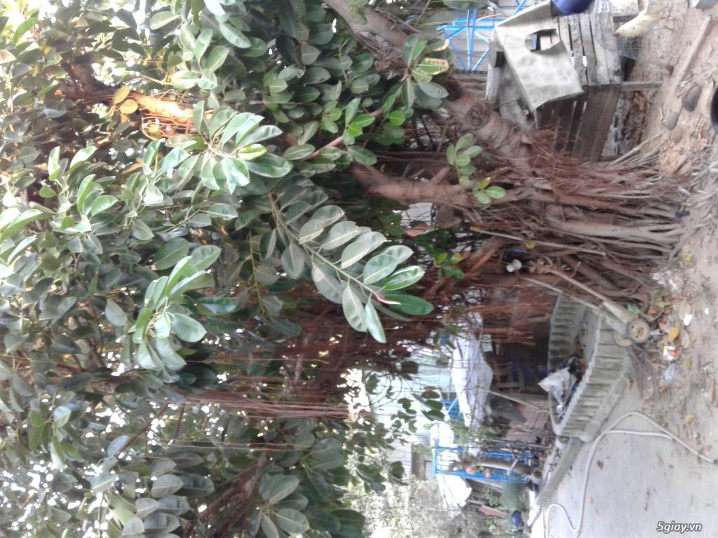 Chuẩn làm sân cần bán cây da ấn độ cổ thụ