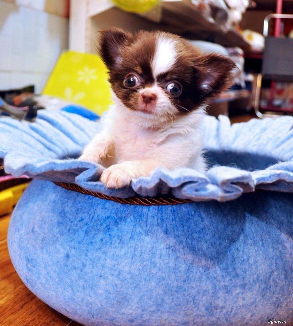 Trại nhân giống Chó Chihuahua Màu mới Thuần Chủng - AusMar Chihuahua - 4