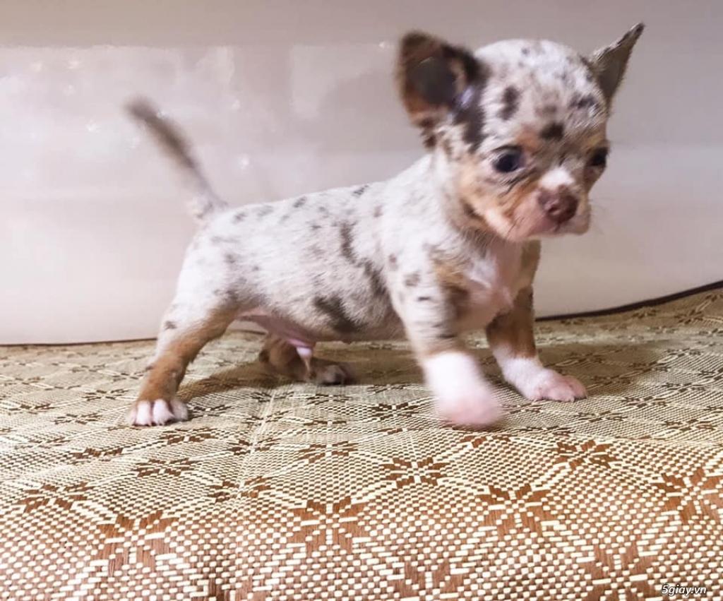 Trại nhân giống Chó Chihuahua Màu mới Thuần Chủng - AusMar Chihuahua - 3
