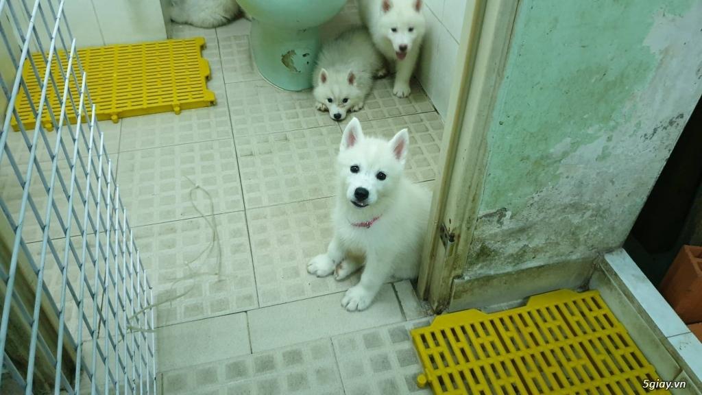 Bán Husky trắng, thuần chủng, 2 tháng tuổi.