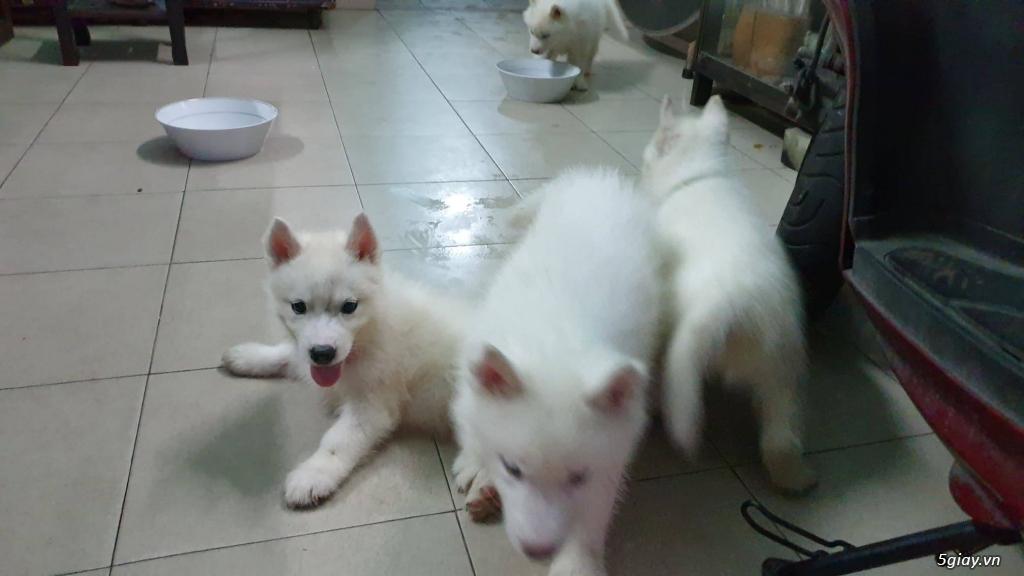 Bán Husky trắng, thuần chủng, 2 tháng tuổi. - 4