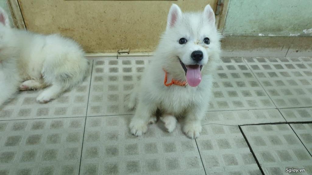 Bán Husky trắng, thuần chủng, 2 tháng tuổi. - 2