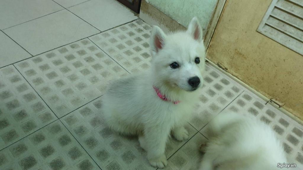 Bán Husky trắng, thuần chủng, 2 tháng tuổi. - 3
