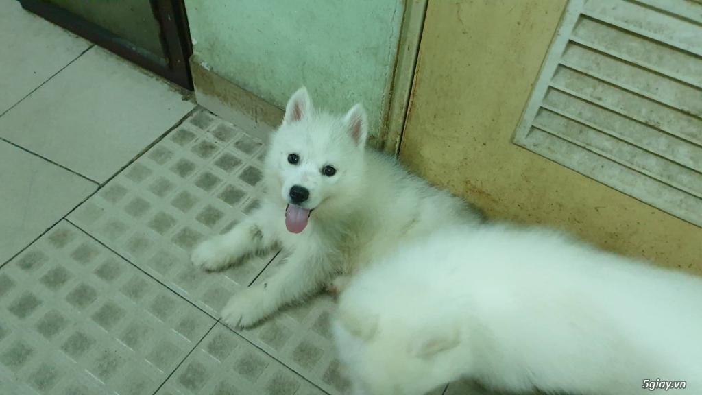 Bán Husky trắng, thuần chủng, 2 tháng tuổi. - 1