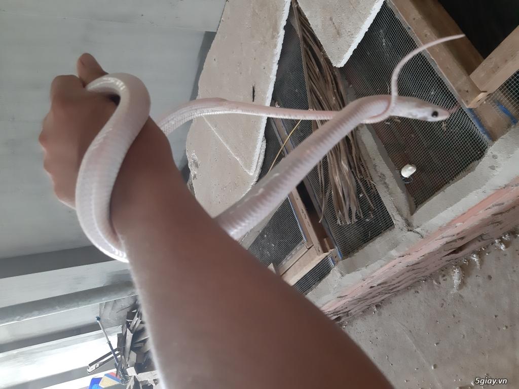 Bán rắn giống 0975799910 - 1