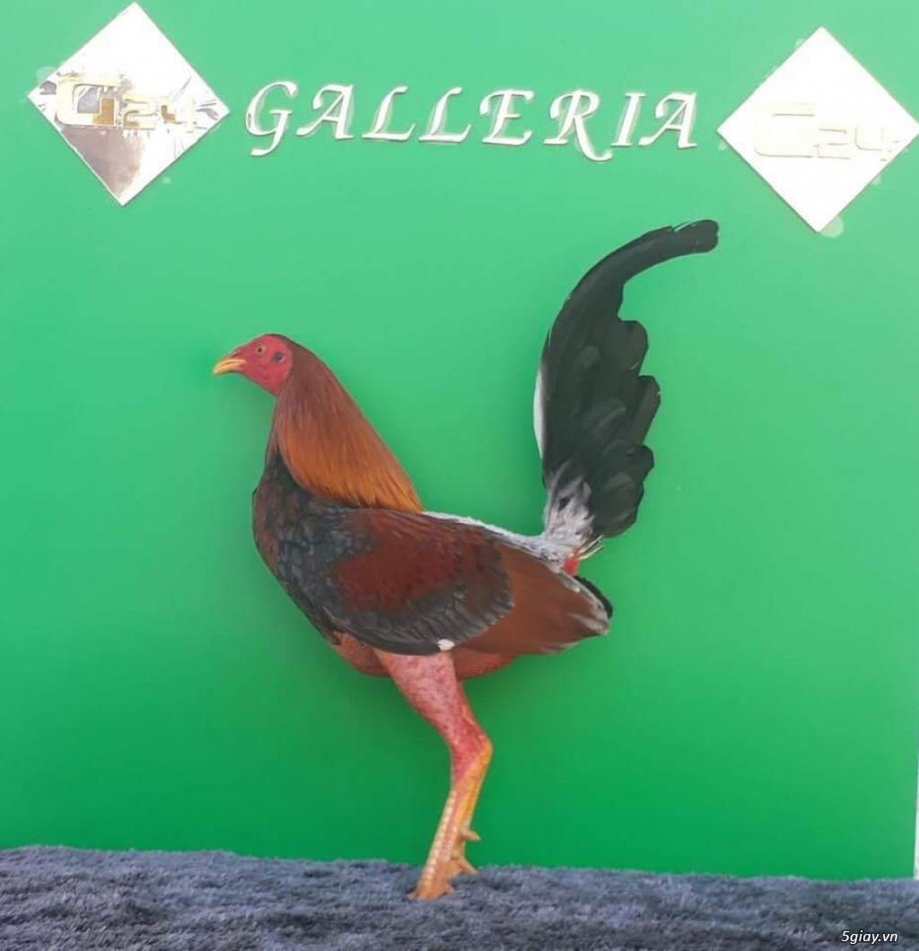 Bán con giống gà cuban nhập 500k/ con.. 0 8 1 8 4 8 9 9 1 9 Zalo - 7