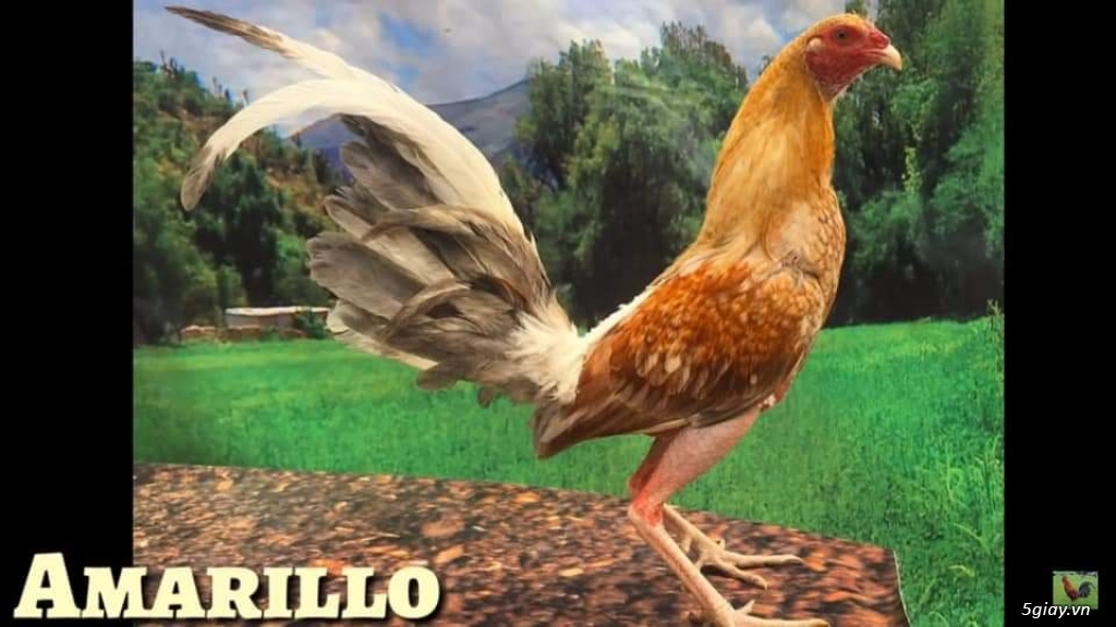 Bán con giống gà cuban nhập 500k/ con.. 0 8 1 8 4 8 9 9 1 9 Zalo - 12
