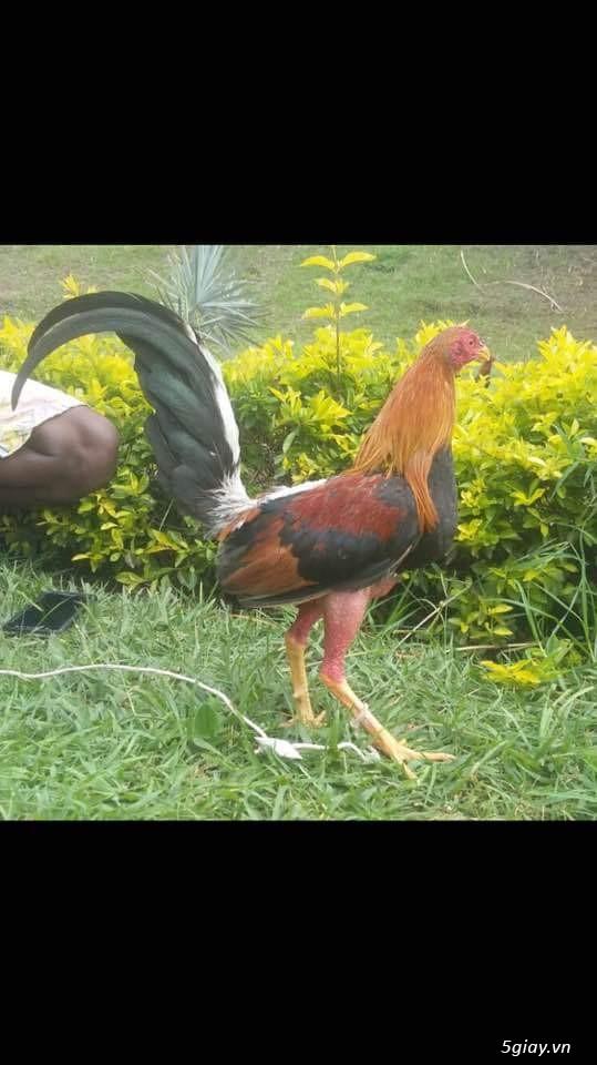Bán con giống gà cuban nhập 500k/ con.. 0 8 1 8 4 8 9 9 1 9 Zalo - 6
