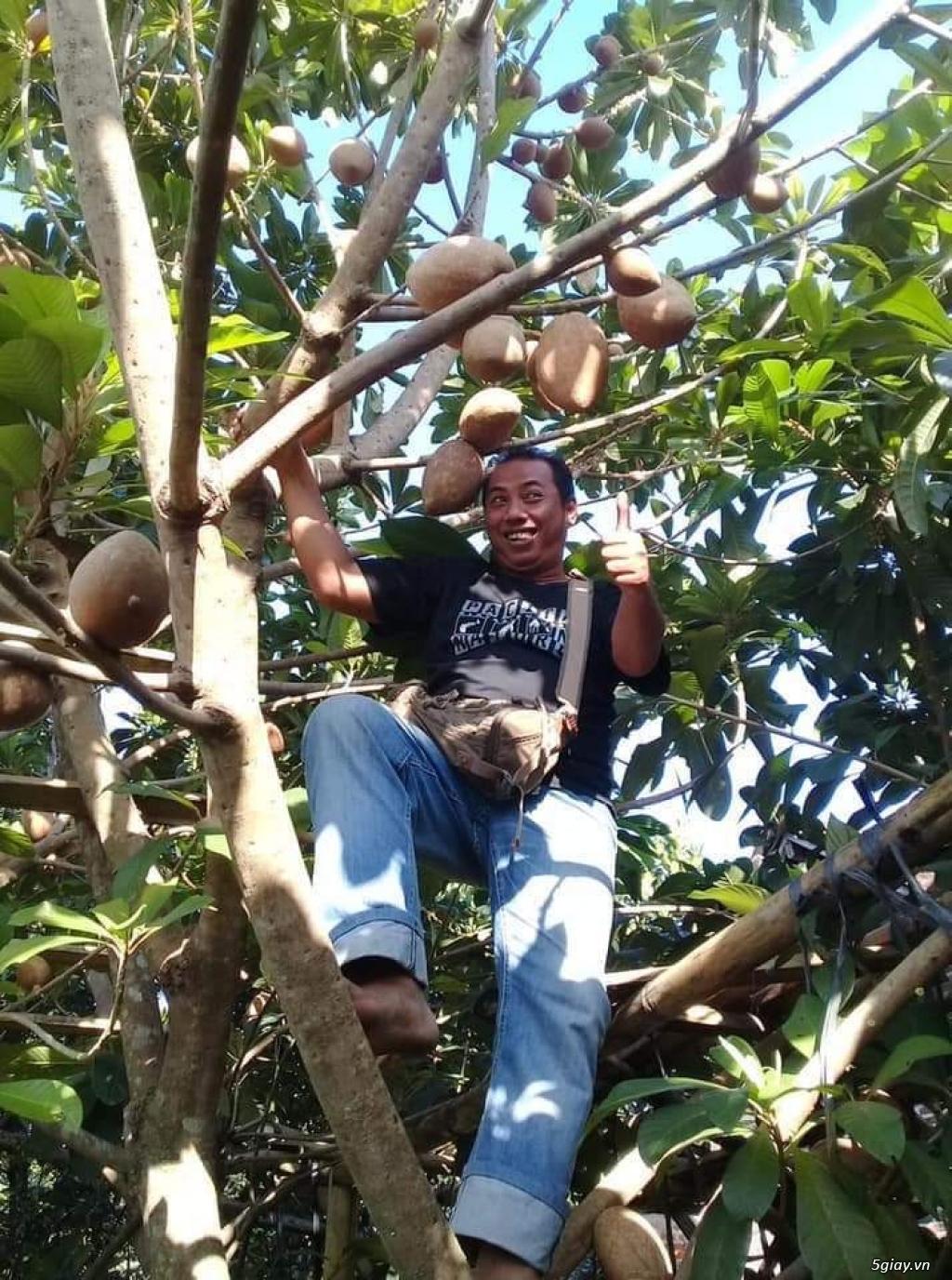 Bán cây hồng xiêm Thái Lan khổng lồ 200k/cây... 08 184 89919 Zalo - 4