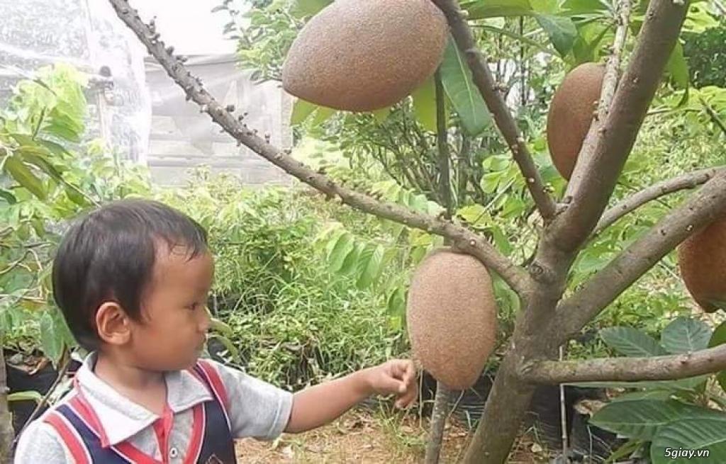 Bán cây hồng xiêm Thái Lan khổng lồ 200k/cây... 08 184 89919 Zalo - 2