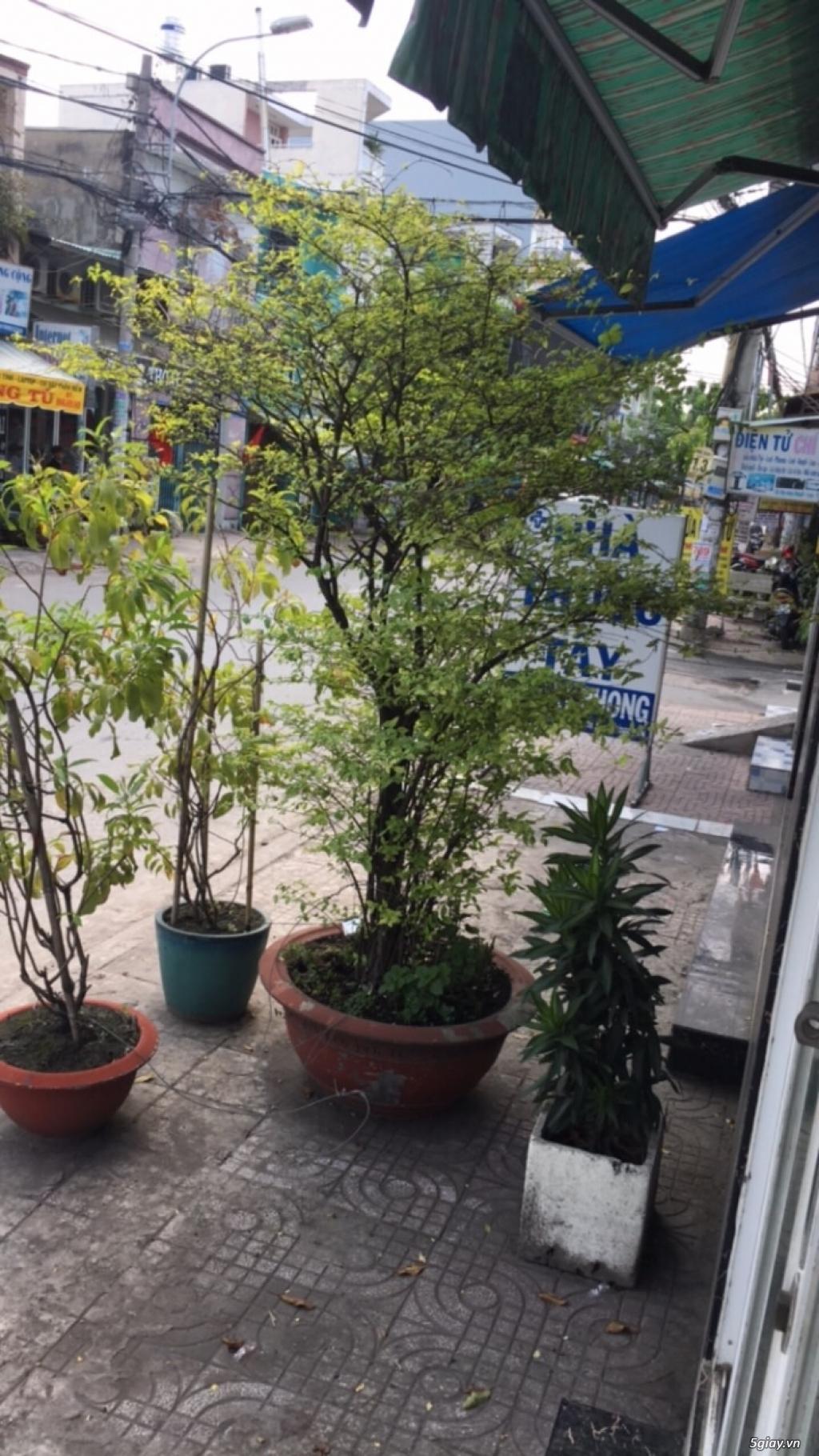 [TPHCM] Bán cây mai nhánh thuỷ cao hơn 2m