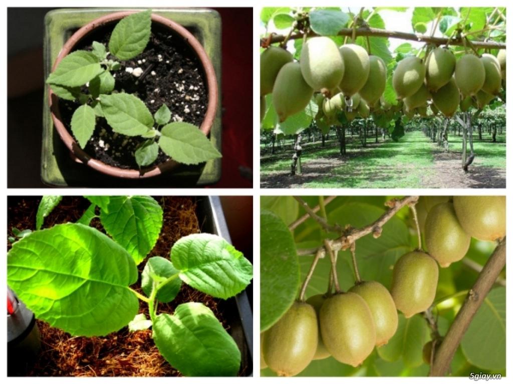 Cây Giống KiWi - Cây leo cho quả bổ dưỡng - 2
