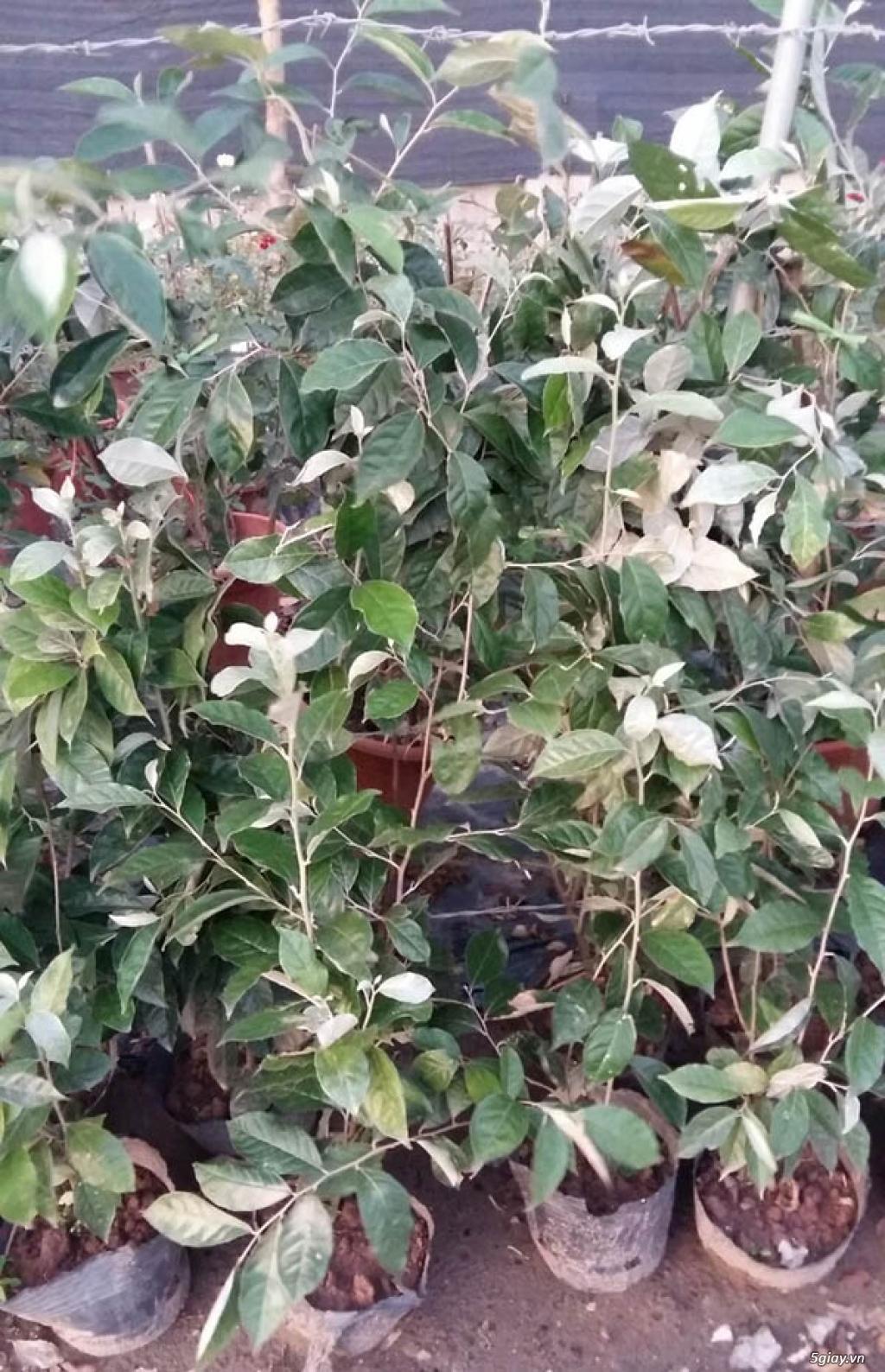 Giống nhót ngọt- GIống cây ăn quả mới lạ có giá trị kinh tế cao - 5