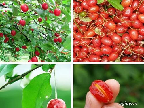 Giống nhót ngọt- GIống cây ăn quả mới lạ có giá trị kinh tế cao - 4