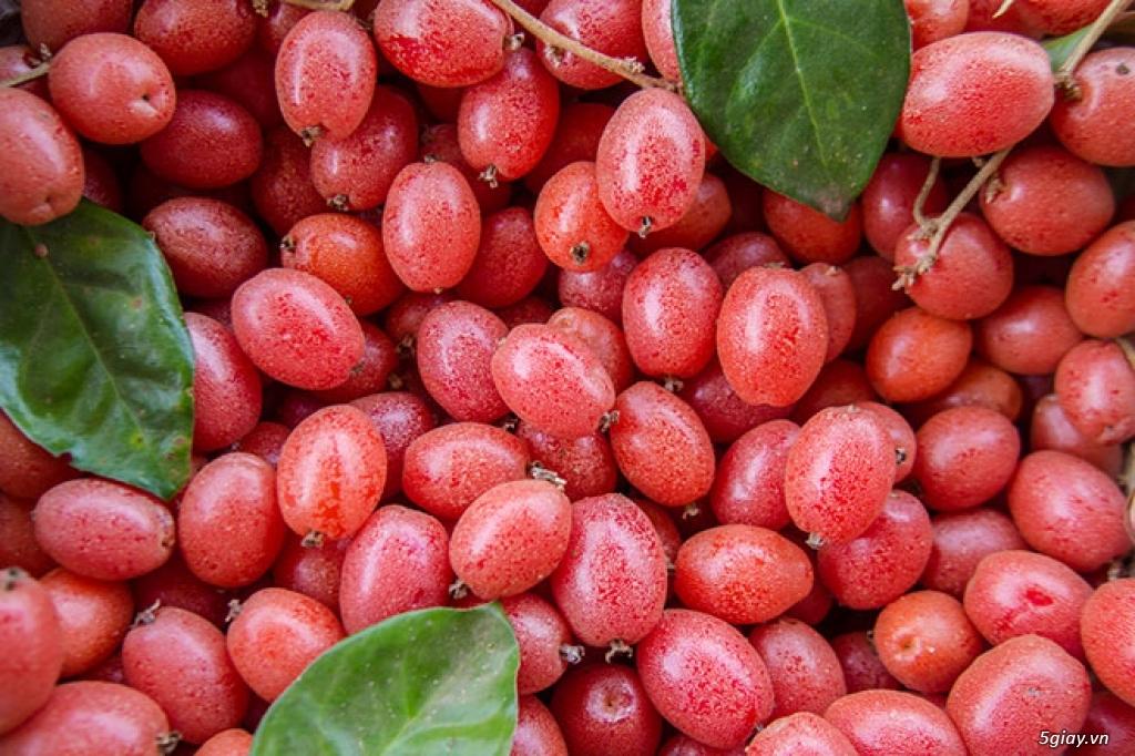 Giống nhót ngọt- GIống cây ăn quả mới lạ có giá trị kinh tế cao - 3