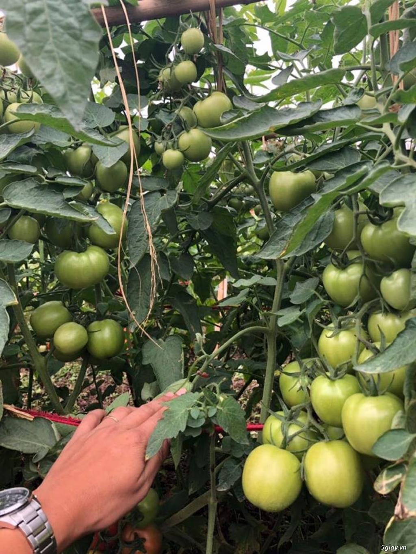 hạt giống cà chua  siêu chịu nhiệt, cà chua F1, thái lan, jupiter 9.0 - 7