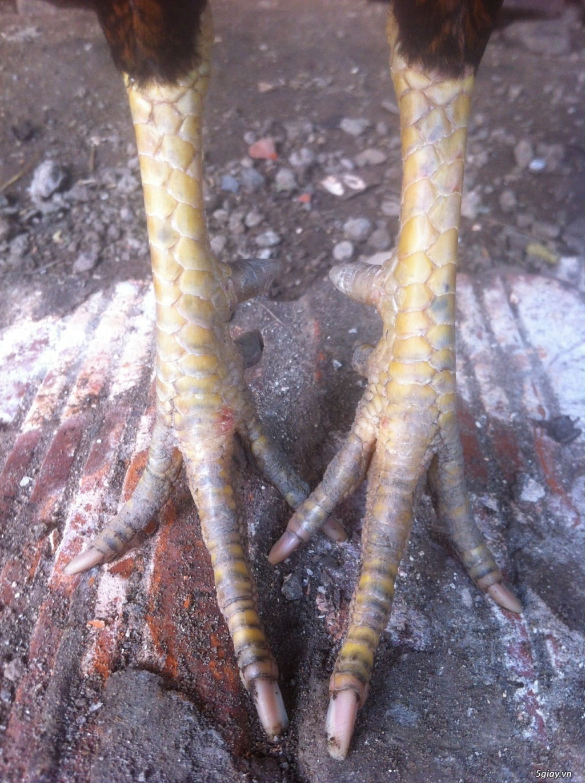 Vĩnh long gà nòi gà tre có clip xổ - 5