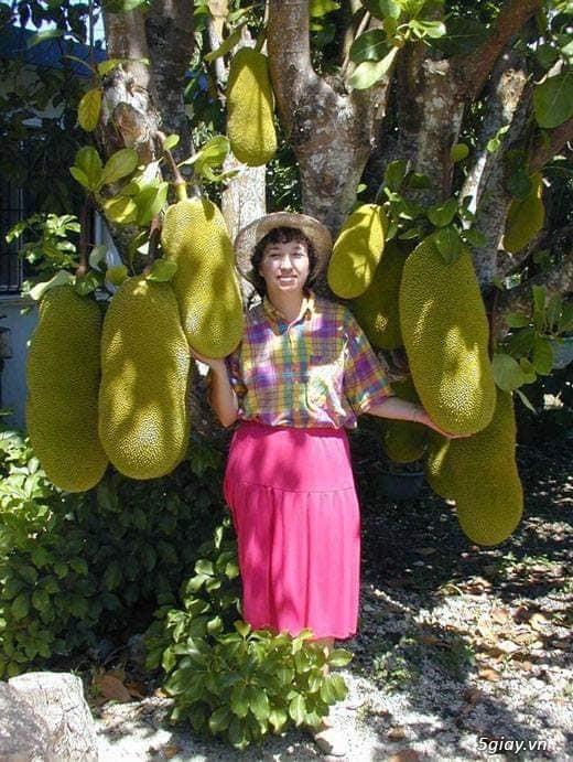 Mít trái dài Malaysia trái dài 1 mét nặng 50 kg - 4