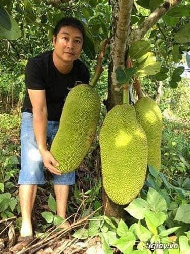 Mít trái dài Malaysia trái dài 1 m nặng 50 kg - 5