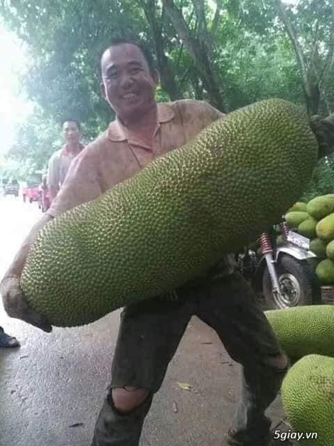 Mít trái dài Malaysia trái dài 1 mét nặng 50 kg - 3
