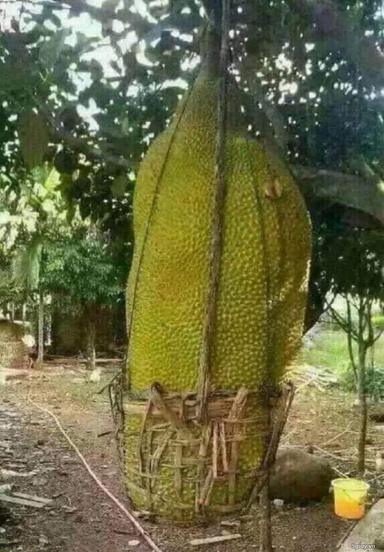 Mít trái dài Malaysia trái dài 1 m nặng 50 kg - 2