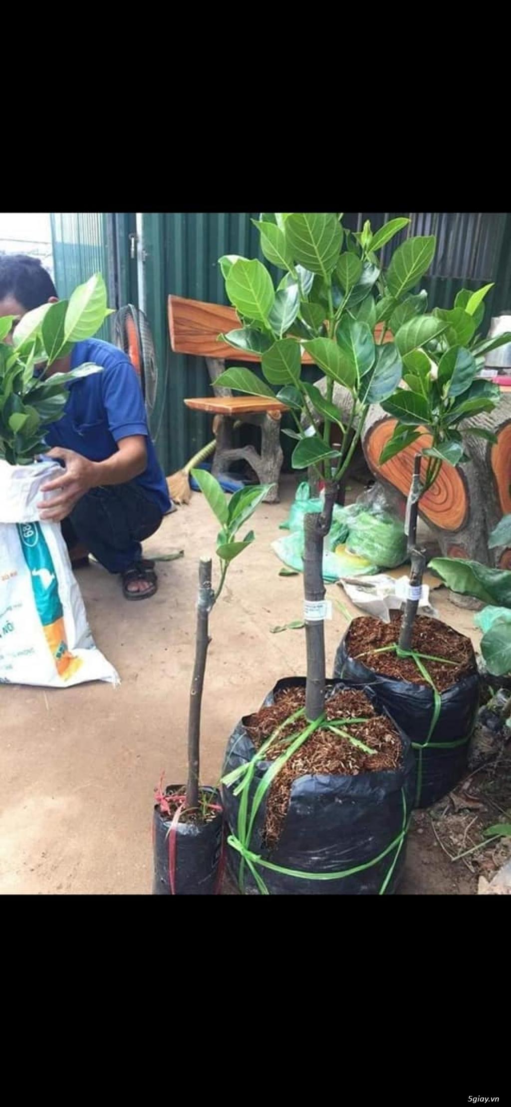 Mít trái dài Malaysia trái dài 1 m nặng 50 kg - 6
