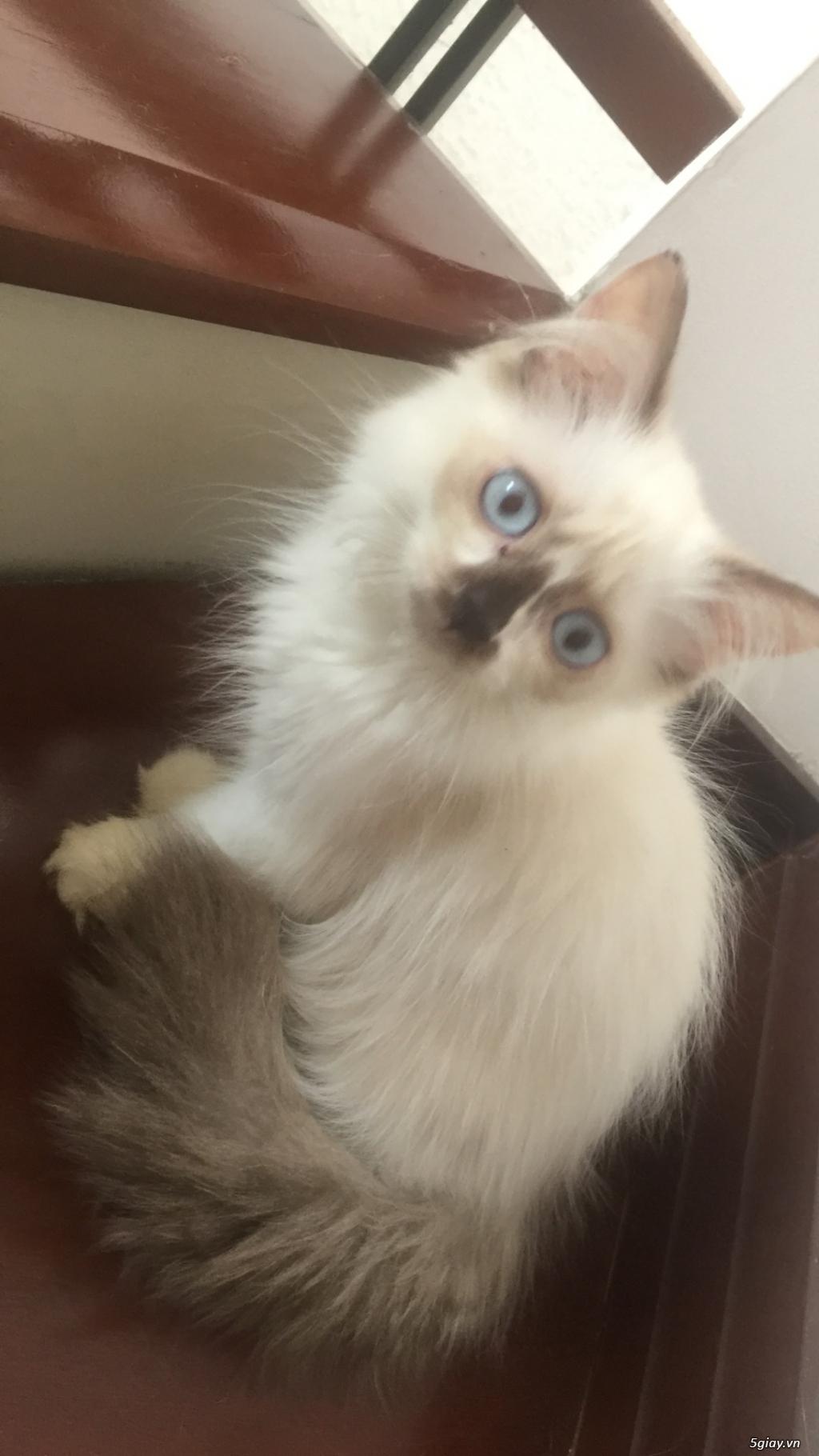 Mèo Anh thuần chủng long dài, giá từ 1.8tr - 1