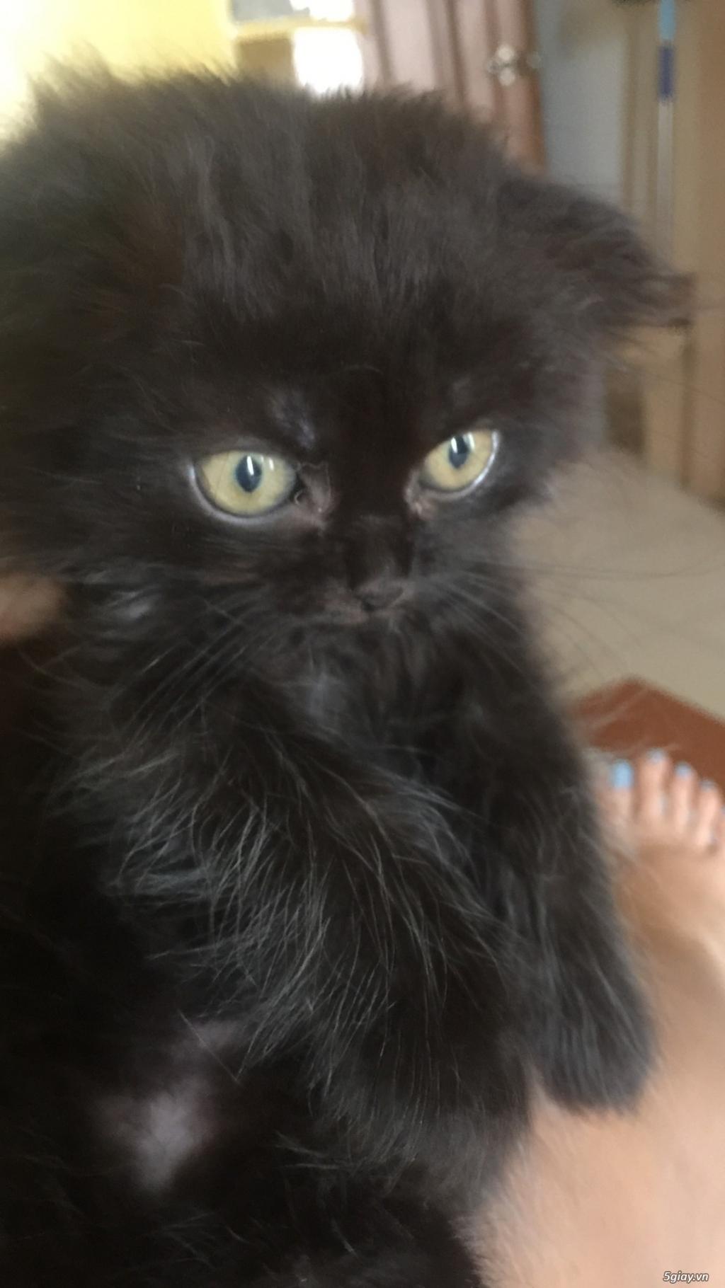 Mèo Anh thuần chủng long dài, giá từ 1.8tr - 2