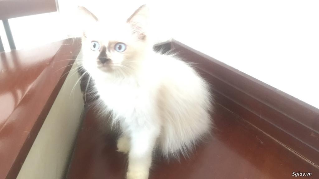 Mèo Anh thuần chủng long dài, giá từ 1.8tr