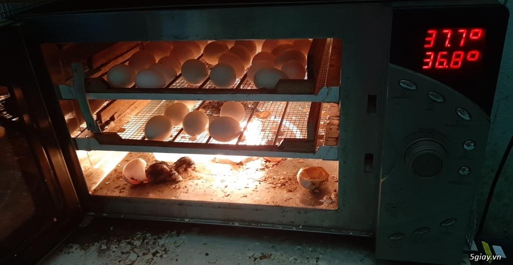 Máy ấp trứng tự động mini giá rẽ - 4