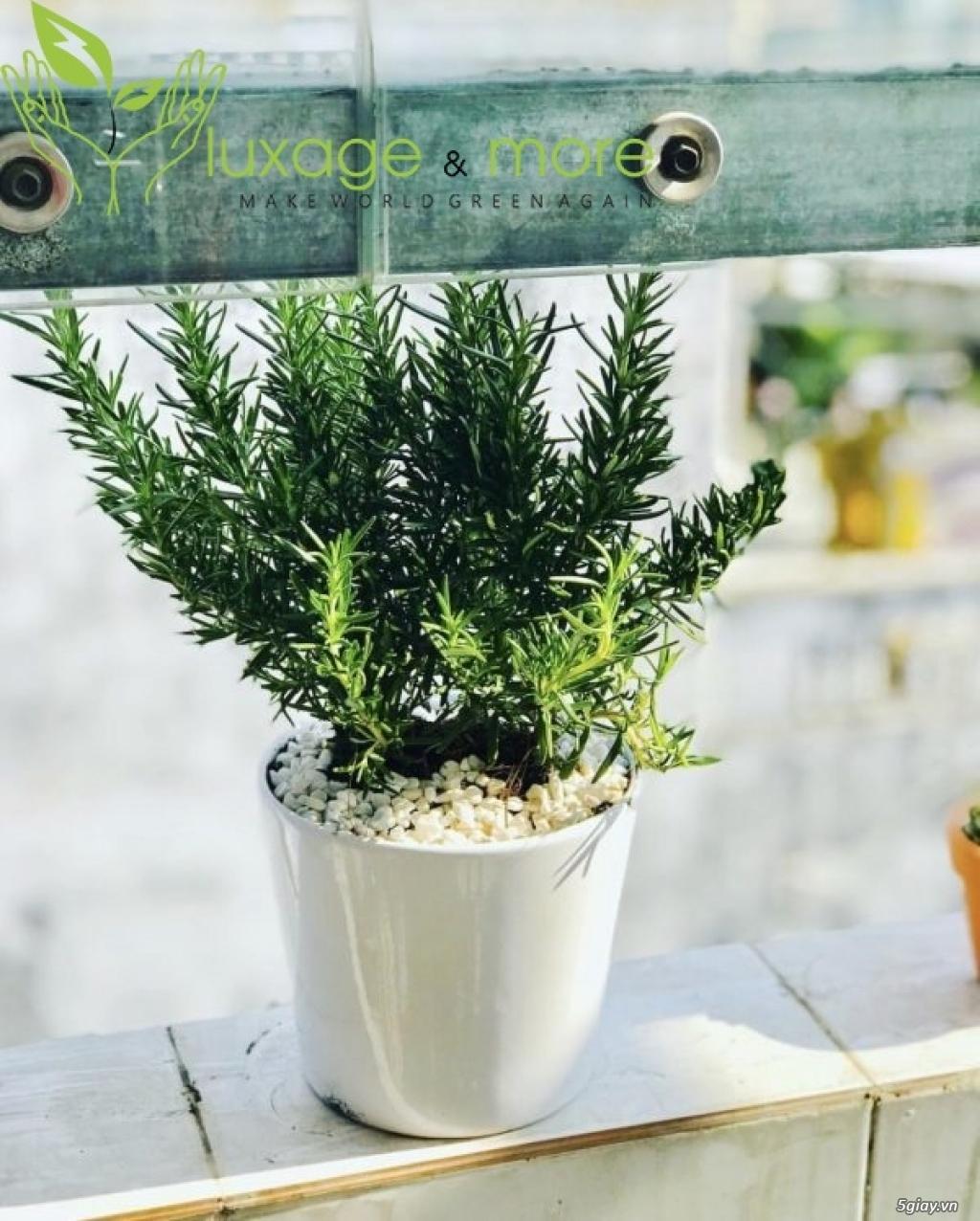Cây Cảnh nội ngoại thất , cây cảnh để bàn  , tiểu cảnh terrarium - 32