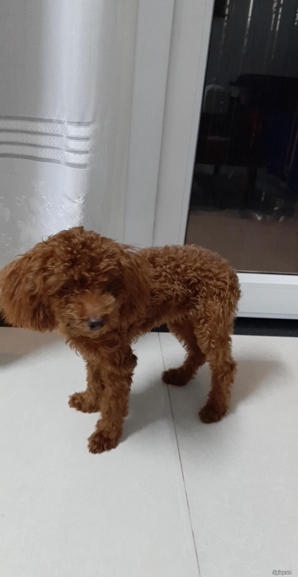 Tìm chủ mới cho poodle con mới sinh - 1