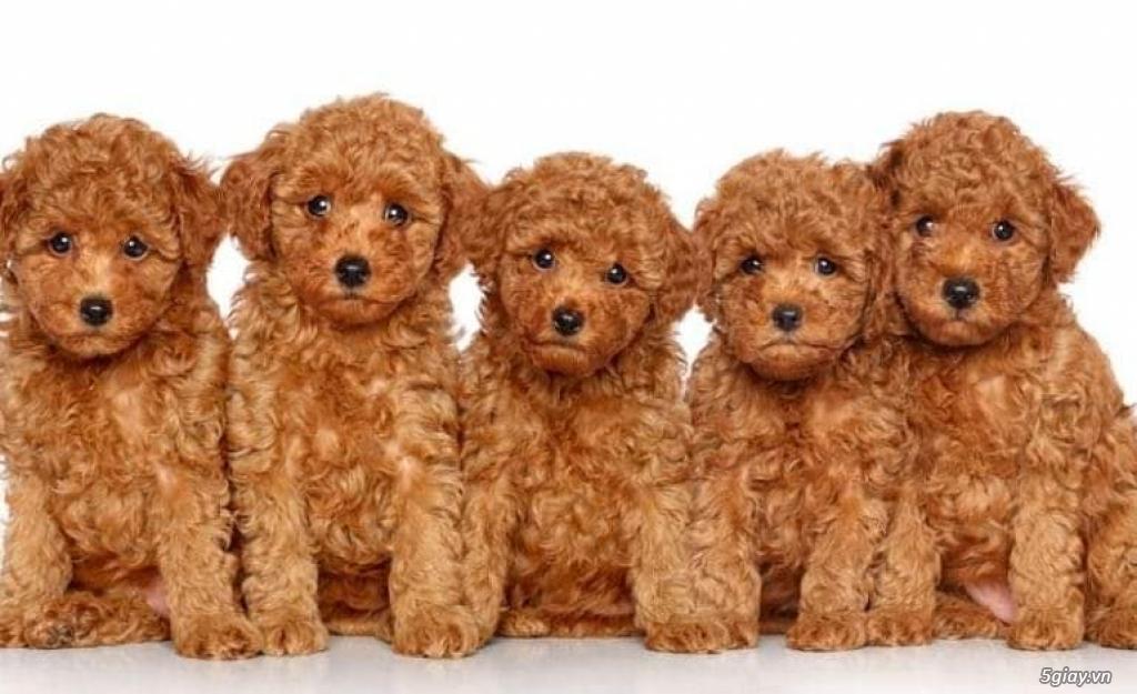 chó poodle nâu đỏ , chó poodle trắng, chó poodle vàng mơ thuần 100% - 2