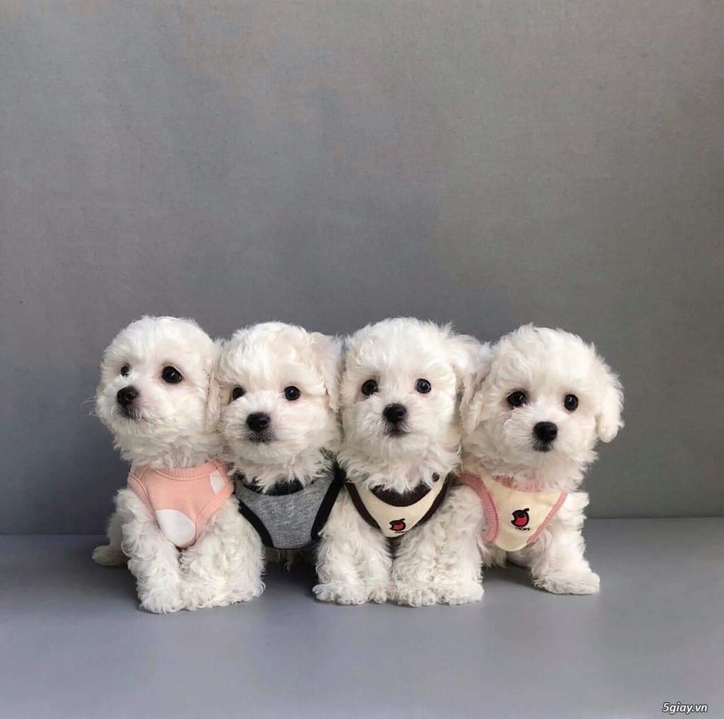 chó poodle nâu đỏ , chó poodle trắng, chó poodle vàng mơ thuần 100% - 3