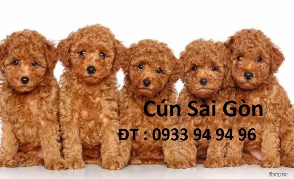 chó poodle nâu đỏ , chó poodle trắng, chó poodle vàng mơ thuần 100% - 1