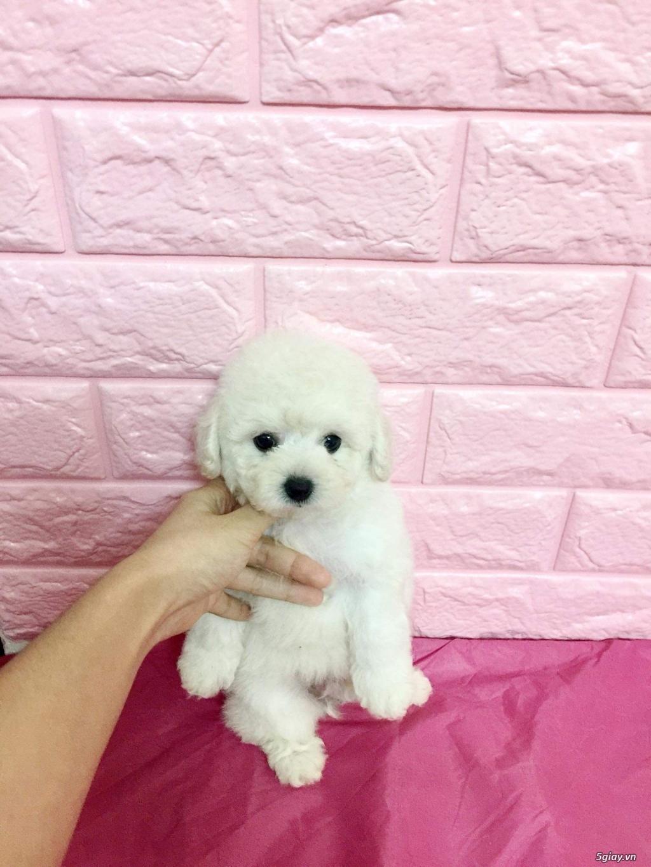chó poodle nâu đỏ , chó poodle trắng, chó poodle vàng mơ thuần 100% - 4