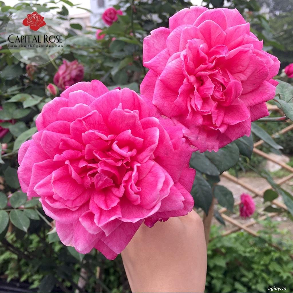 Hoa hồng cổ Sapa – Hoa hồng thân gỗ rực rỡ xứ Tây Bắc