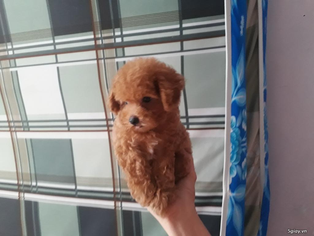 Bán chó Poodle bao thuần chủng - 2