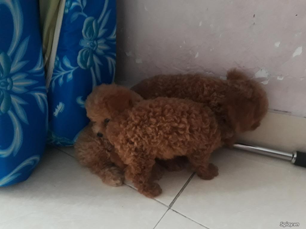 Bán chó Poodle bao thuần chủng - 3