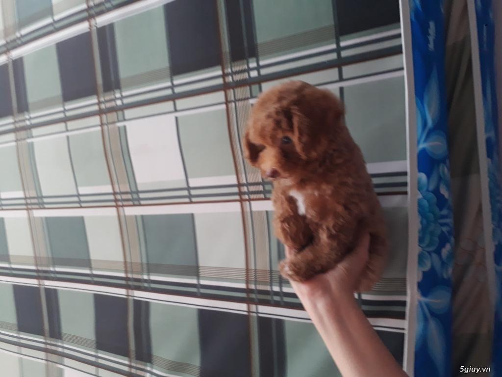 Bán chó Poodle bao thuần chủng - 1