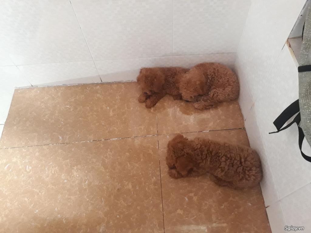Bán chó Poodle bao thuần chủng - 5