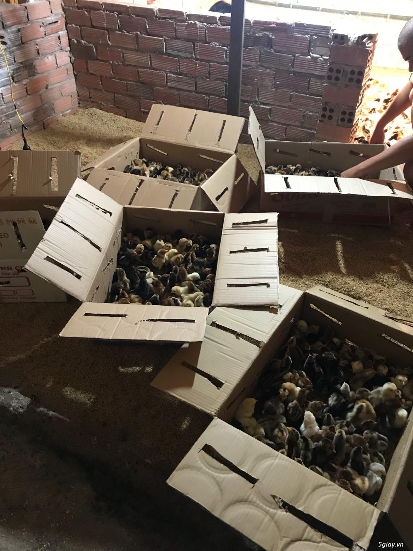 Cơ sở cung cấp giống gà ta thả vườn Thanh Bình Gò Công,Tiền Giang - 7