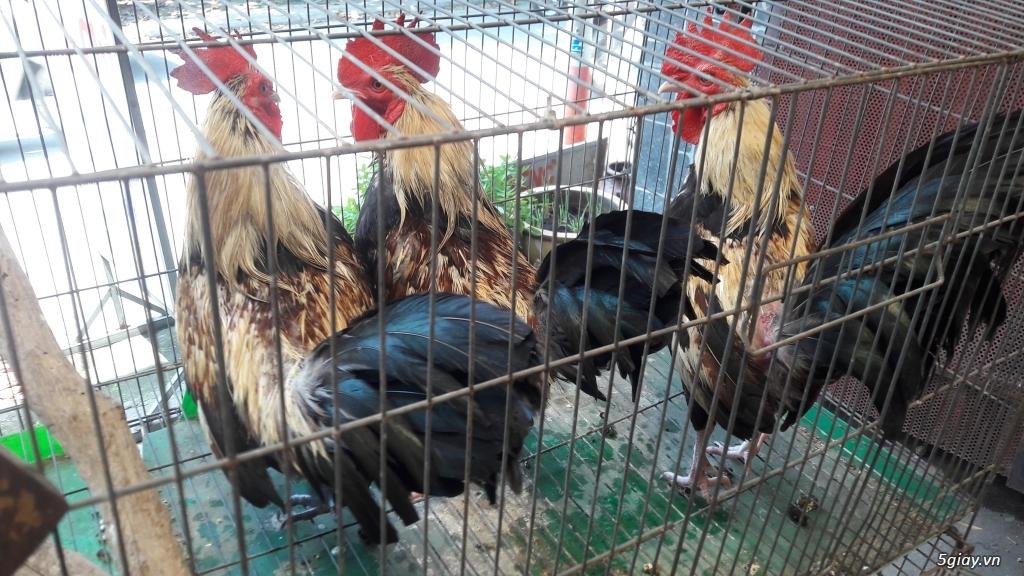 Bán 3 con gà tre chung bầy gốc gà đá giá hết 1 triệu 3 con