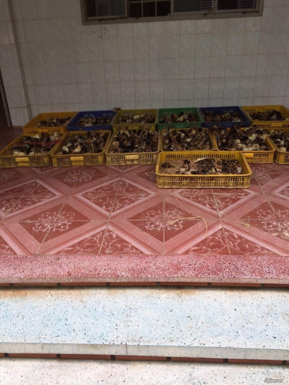 Cơ sở cung cấp giống gà ta thả vườn Thanh Bình Gò Công,Tiền Giang - 5