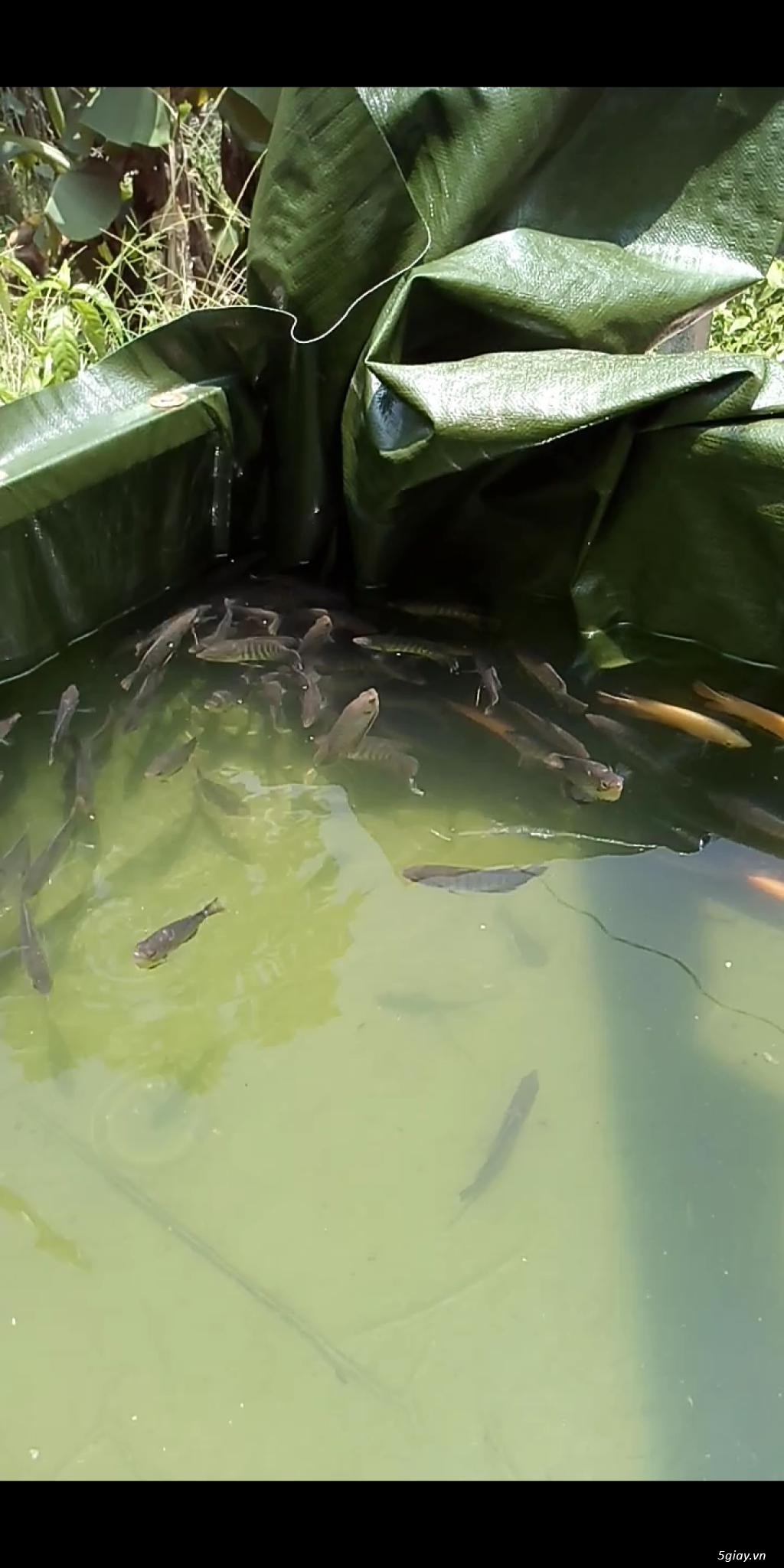Cá Tai Tượng Giống Giao Tận Nơi tại Đồng Nai, TP HCM, Bình Dương