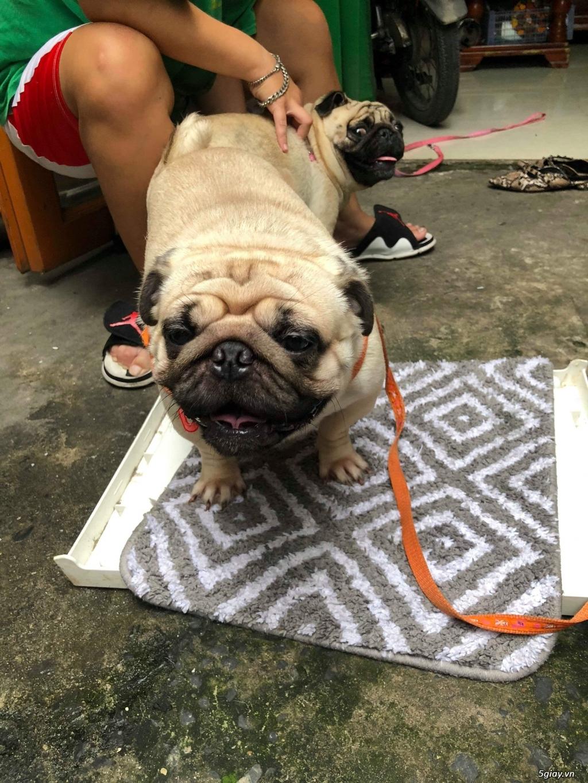 Bán chó Pub con thuần chủng Cha Mẹ Thái rất đẹp.. - 4