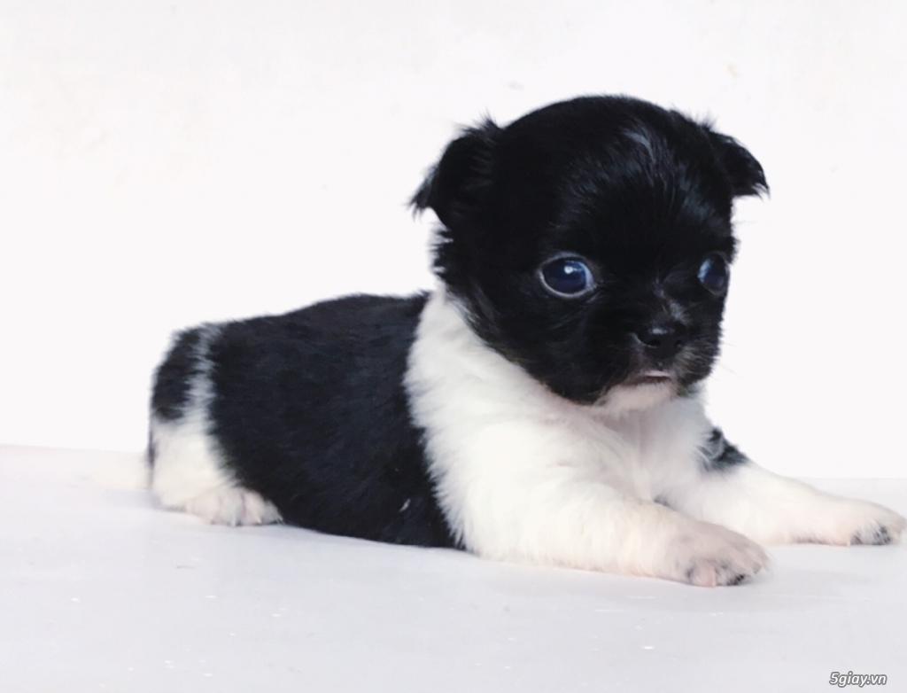 2 bé Chihuahua Chuẩn đẹp có giấy VKA